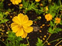 De gele bloem van de kosmoszwavel Royalty-vrije Stock Afbeelding