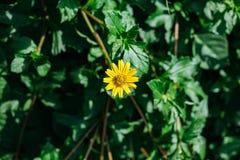 De gele Bloem van de Luipaard` s Last met groen blad op de achtergrond Stock Foto