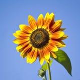 De gele bloem van de zonnebloem op blauwe hemel Stock Afbeelding