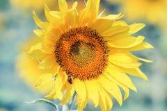 de gele bloem van een zonnebloem groeit op het gebied in de zomer Stock Foto