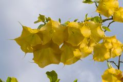 De gele bloem van de engelentrompet in volledige bloei Stock Afbeelding