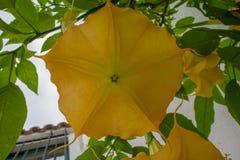 De gele bloem van de engelentrompet in volledige bloei Stock Afbeeldingen
