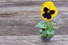 De gele bloem van het altvioolviooltje stock afbeelding