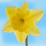 De gele bloem van het jonquillenetwerk Stock Afbeelding