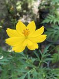 De gele bloem van de Kosmos Royalty-vrije Stock Afbeelding