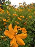 De gele bloem van kosmoscaudatus in tuin stock foto's