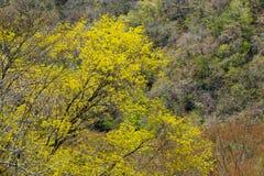 De gele bloem van de mooie hazelaar van de aarwinter stock afbeeldingen