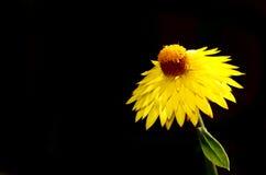 De gele bloem van Nice Royalty-vrije Stock Afbeeldingen