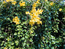 De gele bloem van Thunbergia Kirkii Royalty-vrije Stock Fotografie