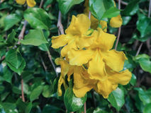 De gele bloem van Thunbergia Kirkii Stock Fotografie