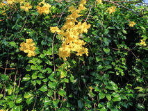 De gele bloem van Thunbergia Kirkii Stock Afbeeldingen