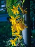 De gele bloem van Thunbergia Kirkii Stock Foto