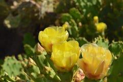 De gele bloem van de vijgencactuscactus Royalty-vrije Stock Fotografie