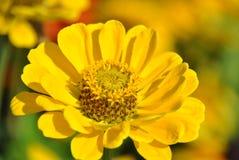 De gele bloem van Zinnia Stock Afbeelding