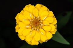 De gele bloem van Zinnia Royalty-vrije Stock Foto
