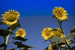 De gele bloem van de zonnebloem Stock Foto's