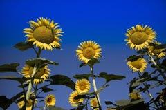 De gele bloem van de zonnebloem Stock Afbeeldingen