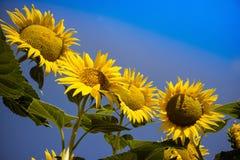 De gele bloem van de zonnebloem Royalty-vrije Stock Afbeeldingen