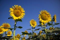 De gele bloem van de zonnebloem Royalty-vrije Stock Fotografie