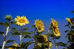 De gele bloem van de zonnebloem Stock Foto