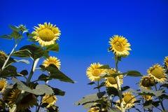 De gele bloem van de zonnebloem Stock Fotografie