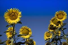 De gele bloem van de zonnebloem Stock Afbeelding