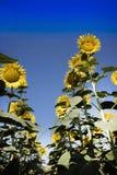 De gele bloem van de zonnebloem Royalty-vrije Stock Foto's