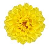 De Gele Bloemblaadjes van de Bloem van de dahlia die op Wit worden geïsoleerdj royalty-vrije stock foto