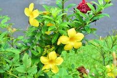 De Gele Bloemen bij Mijn Tante ?S-element stock afbeeldingen