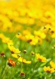 De gele bloemen in de tuin glansten bij zon Stock Afbeeldingen
