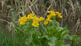 De gele bloemen in fritillary melitaeaathalia van de moerasdopheide op bloemranunculus boterbloemen spearworts geven water stock footage