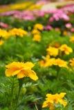 De gele bloemen met een daling van water in een bloem tuinieren, op een kleurrijke achtergrond van de bloemtuin royalty-vrije stock foto