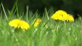 De gele bloemen sluiten omhoog Natuurlijk milieu stock footage