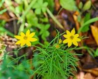 De gele bloemen van bidensaristosa, Gebaarde Beggarticks Royalty-vrije Stock Fotografie