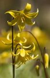 De gele bloemen van de Pagode Erythronium Royalty-vrije Stock Foto's