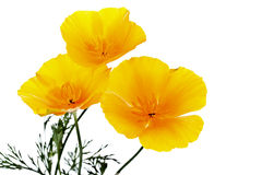 De gele bloemen van de zomer Stock Fotografie