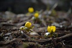 De gele bloemen van Eranthishyemalis in de lente stock afbeeldingen