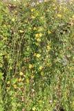 De gele bloemen van Jasmine Gelsemium sempervirens Stock Fotografie