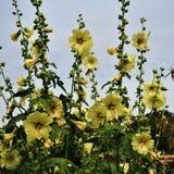 De gele bloemen van stokroosalcea in een tuin Stock Foto