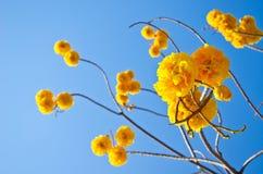 De gele bloemen van Tabebuiachrysotricha stock fotografie