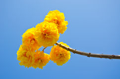 De gele bloemen van Tabebuiachrysotricha royalty-vrije stock afbeelding