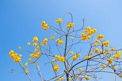 De gele bloemen van Tabebuiachrysotricha royalty-vrije stock foto's