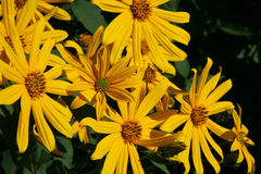De gele bloemen van tuberosus van de artisjokhelianthus van Jeruzalem riepen ook topinambour, sunroot, sunchoke en aardeappel Stock Foto