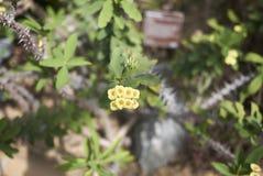 De gele bloemen van wolfsmelkmilii royalty-vrije stock foto