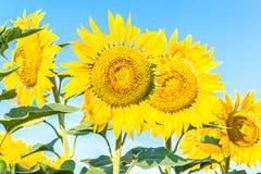 De gele bloemen van zonnebloemen sluiten omhoog Royalty-vrije Stock Fotografie