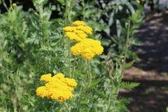 De gele bloemen worden verzameld in grote bloeiwijzen Royalty-vrije Stock Afbeeldingen