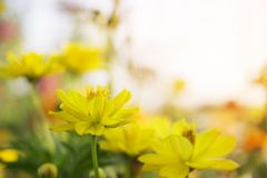 De gele bloemen zijn bloeiend voor de achtergrond royalty-vrije stock afbeeldingen