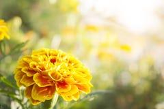 De gele bloemen zijn bloeiend voor de achtergrond royalty-vrije stock foto's