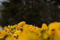 De gele bloemknop en zwarte backgroundï ¼ ˆ2ï ¼ ‰ royalty-vrije illustratie