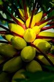 De gele boom van het papajafruit stock foto